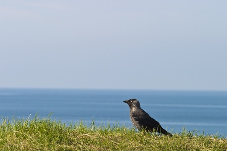 coloeus: Jackdaw who sits on the ground and watching Stock Photo