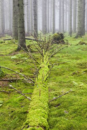 Fallen Spruce tree in the forest with morning mist Stock Photo - 13672503