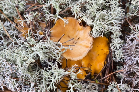 Chanterelles that grow in the Reindeer moss photo