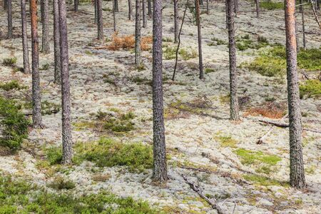 Pine tree forest with white moss photo