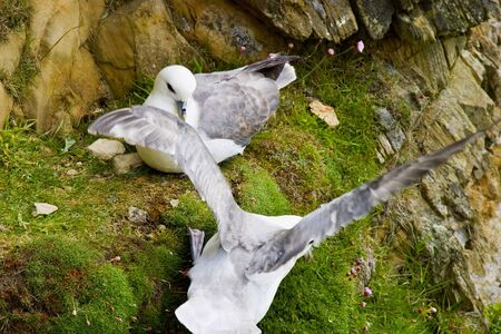 Northen Fulmar at a nest on the birds cliff Stock Photo - 13906513