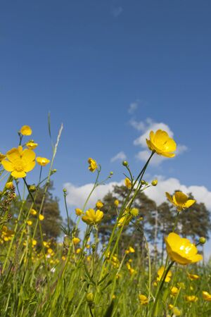 Summer meadow with blooming Meadow Buttercup Stock Photo - 13983856