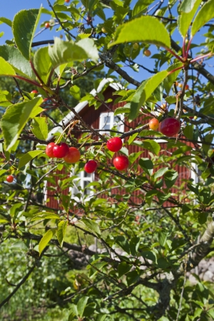 Cherry berry on the branches of the tree