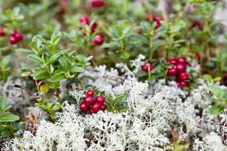 Lingonberry and Reindeer moss photo