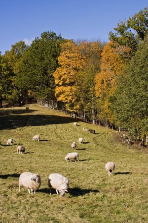 Sheep at the autumn field photo