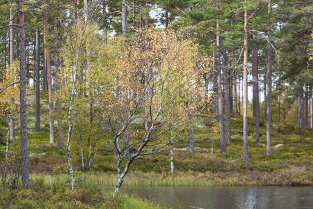 Birch tree  at a forest lake with autumn colors photo