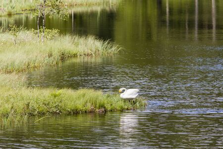 Whooper Swan at the forest lake in wilderness Stock Photo - 14387858