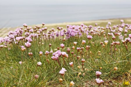 Thrift flowers on the meadow by the sea. Stock Photo - 14508522