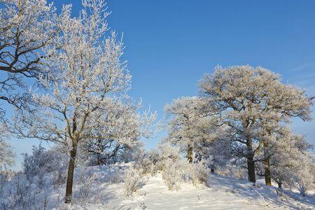 Oaks trees on the hill in winter landscape photo