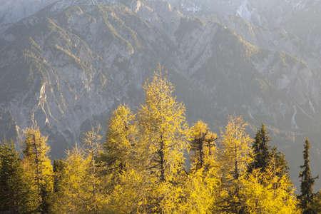 osttirol: Larch tree forest in autumn