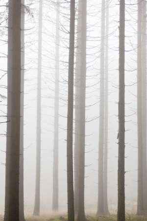 Spruce tree in the forest with morning mist