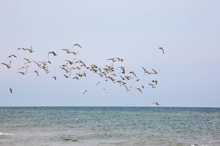 Flock of Common Tern flying over the sea Imagens