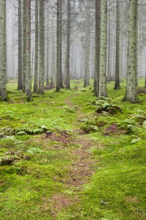 Hiking trail through a misty spruce forest