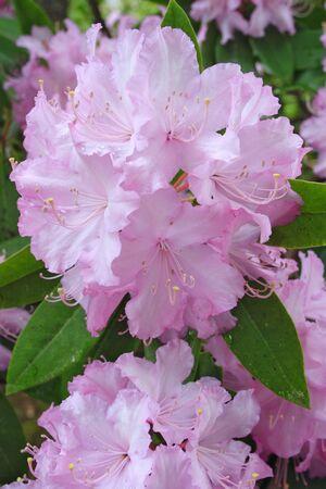 Rhododendron in a garden  photo