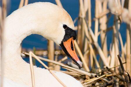 Mute Swan in nest Stock Photo - 15470927