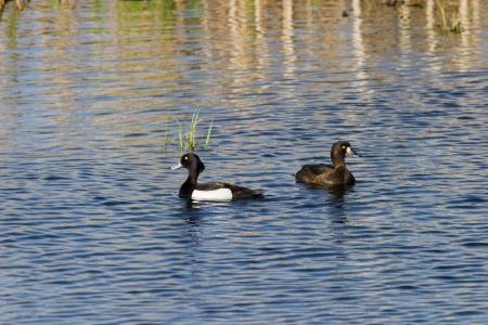 Tufted ducks swimming in the lake Stock Photo - 15640672