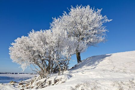 Deciduous tree on a hill with frost in winter landscape photo