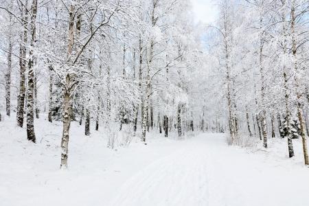 보도 자작 나무 숲을 통해 스톡 콘텐츠