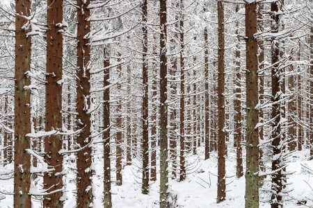 treetrunk: Spruce tree in winter forest Stock Photo