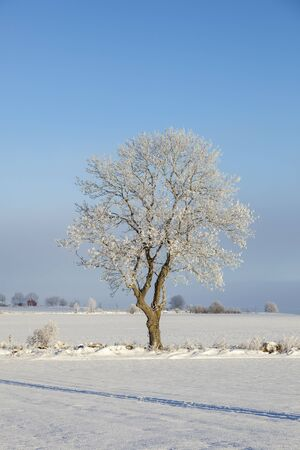 Solitary tree in a winter field photo