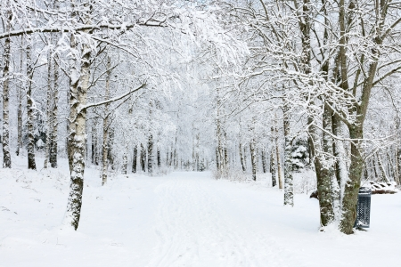 winter scenery: Footpath through birch tree forest