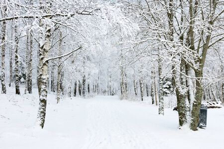 wintery: Footpath through birch tree forest