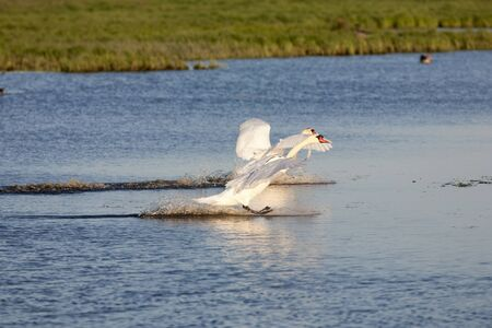 Mute swan landing on the lake Stock Photo - 16555611