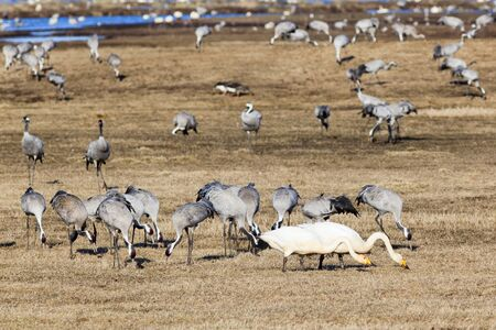 Cranes and swans grazing on field photo