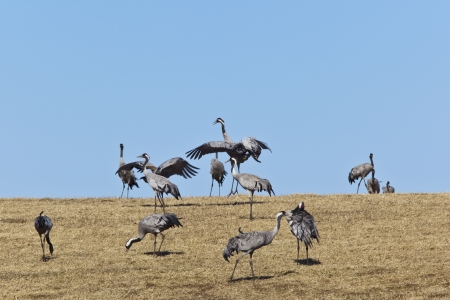 Common Cranes dancing and grazing on field photo
