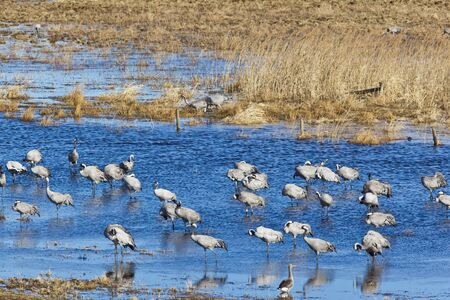 Common Cranes standing in the water Stock Photo - 16707974