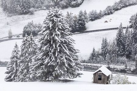 Wintry landscape with spruce tree and fields, and cattle grazing on photo
