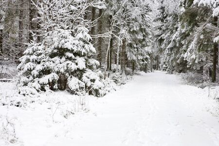 Footpath through spruce forest Stock Photo - 16771382