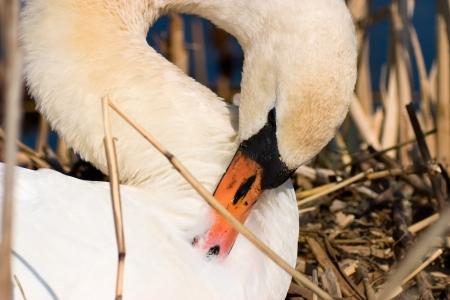 preens: Mute Swan in nest