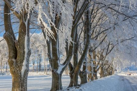 snowbank: Treelined Beech tree on the roadside with a snowbank