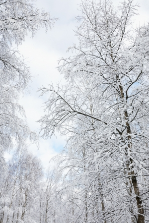 Snowy birch tree forest Imagens