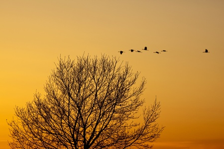 Cranes that fly in the evening light over a tree photo