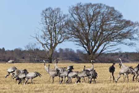 Common Cranes on field in spring landscape Stock Photo - 17022841