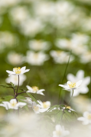 Wood anemones in early flowering in spring photo