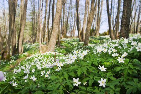 anemone flower: Windflower in the deciduous forest