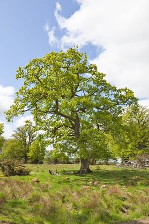 Old oak tree that stands in a meadow