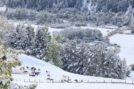 Flock of sheep in the field of new fallen snow photo