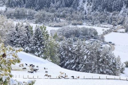 osttirol: Flock of sheep in the field of new fallen snow