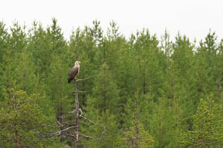 treetop: White-tailed Eagle sitting in a treetop
