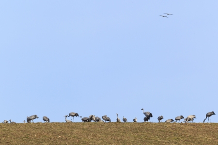Common Cranes grazing on a field photo