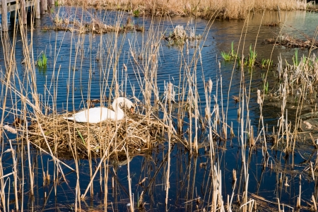 Mute Swan in nest Stock Photo - 17332666