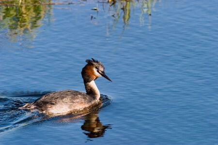 Horned grebe swimming in the lake Stock Photo - 17332512