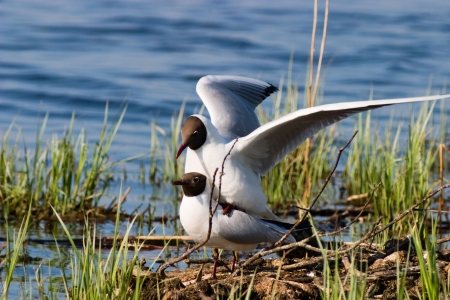 Black headed gull mating Stock Photo - 17332521