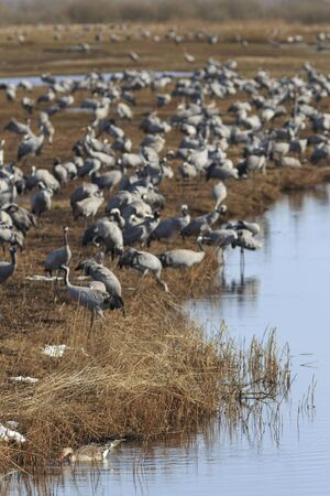 Common Cranes standing in water edge photo