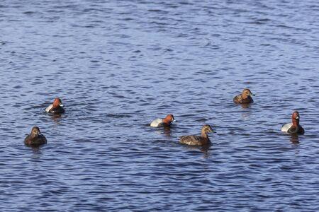 common pochard: Common Pochards swimming in the lake Stock Photo