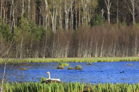 Whooper swan nesting in the lake Stock Photo - 17593997